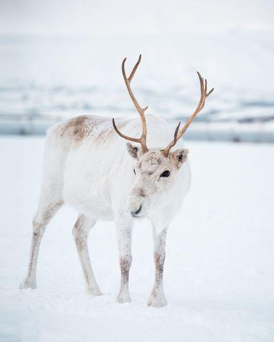 Reindeer in Tromsø Tromsø Reindeer Animal Animal Themes Snow Cold Temperature Winter Animal Wildlife Mammal Animals In The Wild One Animal Vertebrate White Color No People Deer Nature Domestic Animals Field Standing Land Day Herbivorous