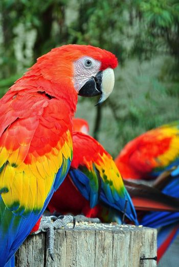 Animal Themes Bird Wildlife Focus On Foreground Parrot Close-up Vibrant Color Multi Colored Animal Head  Zoology Day Nature Beauty In Nature Animal Head  Animals Non-urban Scene No People Eye Feathers Macaw Animals In The Wild Scarlet Macaw Animal Wildlife Feather  Tropical Rainforest Tropical Bird Adult Animal Beak Vertebrate Perching