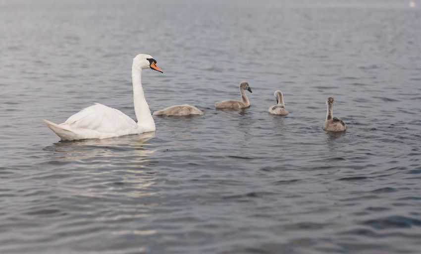 Animal Animal Family Animal Themes Animal Wildlife Animals In The Wild Beauty In Nature Bird Cygnet Day Group Of Animals Lake Nature No People Selective Focus Swan Swimming Vertebrate Water Water Bird Waterfront Young Animal