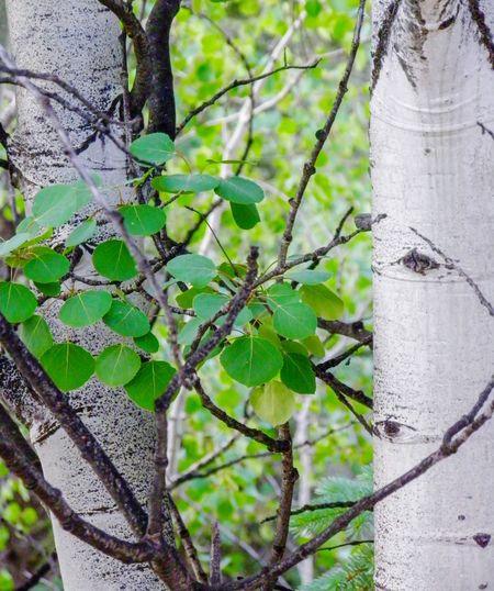 Aspen Tree Summer Aspen Tree Bark Aspen Trees Growth Tree Trunk Tree Green Color Leaf Nature Day