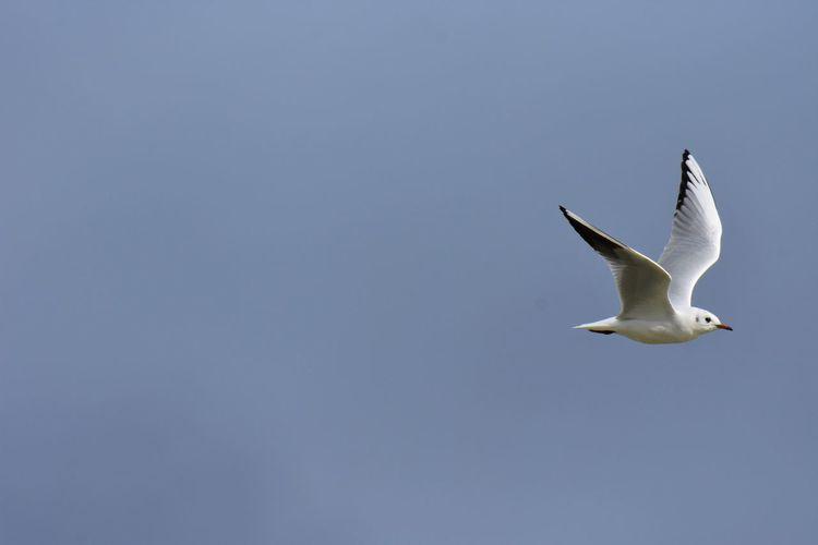 Gull Animals In