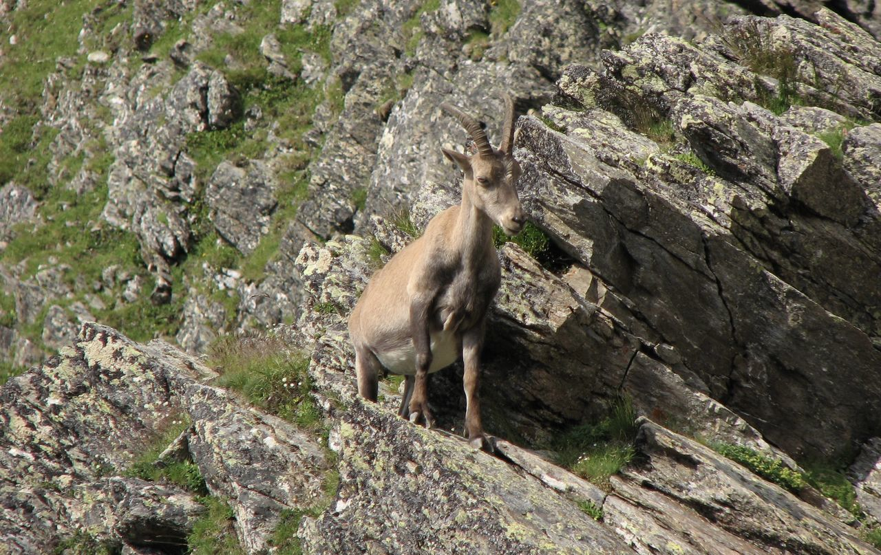 Animal Themes Animals In The Wild Beauty In Nature Chamois Moutain Nature No People One Animal