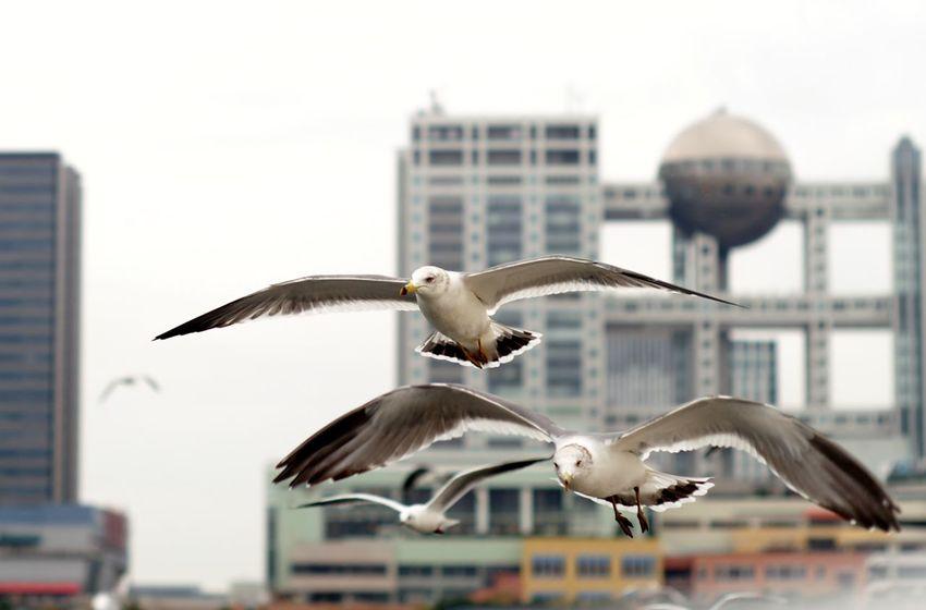 お台場 ゆりかもめ 球体 Blackheaded Gull Rokkor 58mm F1.4 Tokyo,Japan