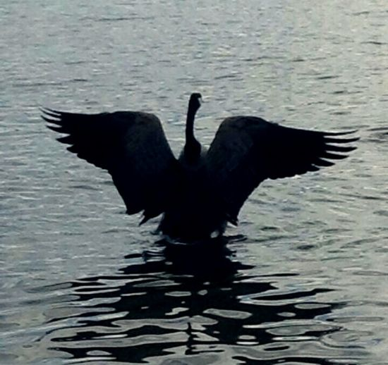 Bird Spread Wings Water Animal Body Part Animal Wildlife Nature No People Silhouette Nature Jolie Goose Water Animal Themes Outdoors Tranquility Scenics