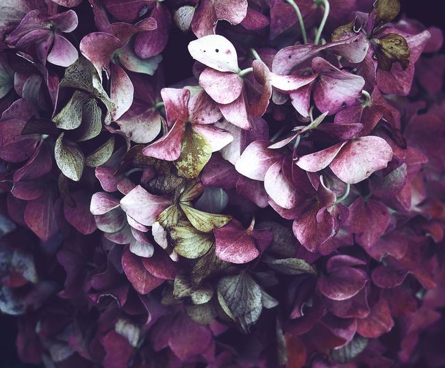 I have a small addiction to hydrangeas 🌸 - I think I can live with it 😉 Outdoors Wilted Plant Winter Pink Color Lilac Bunch Of Flowers Petal Blooming Blossom Beauty In Nature Inflorescence Vulnerability  Flower Flower Head Botany Backgrounds Close-up VSCO Macro Nature Is Art No People Scenics - Nature EyeEm Nature Lover EyeEm Best Shots - Nature Still Life Travel Freshness Fragility Taking Photos Hydrangea