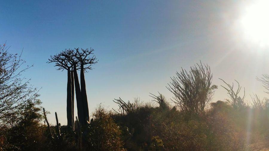 Baobab de Madagascar Nature Beauty In Nature Baobab Tree Baobab Forest Baobab Baobab Trees Madagascar Nature Tulear Outdoors EyeEm Best Shots EyeEm Nature Lover EyeEmBestPics EyeEmNewHere