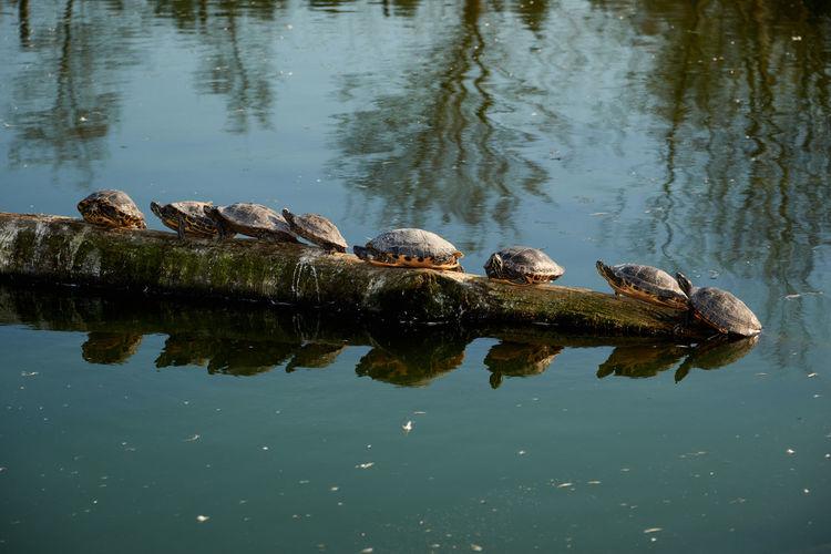 Tortoise on fallen tree trunk in lake