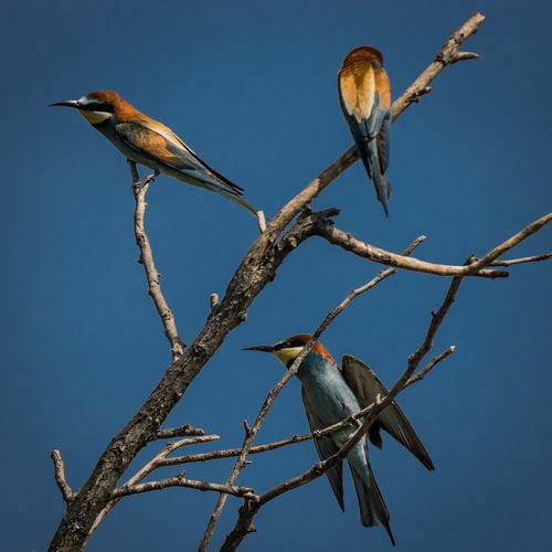 Low angle view of european bee-eaters perching on twig against clear sky