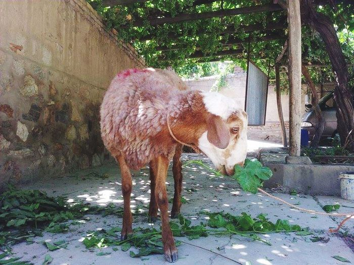 Child of god. Animal Photography Innocence Goat Eating Peacefully Kabul Afghanistan