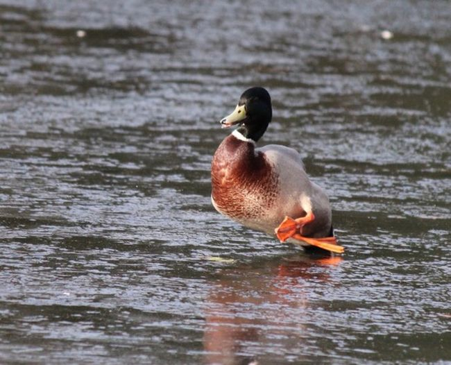Duck Ice Animal Themes Animal Vertebrate Bird Animals In The Wild Animal Wildlife Water