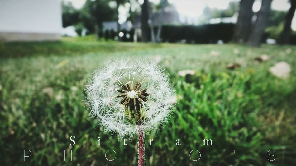 Dandelion Wish Flowers Nature_collection Nature_perfection Hanging Out Sitram Photo's Hello World Taking Photos Pure Check This Out