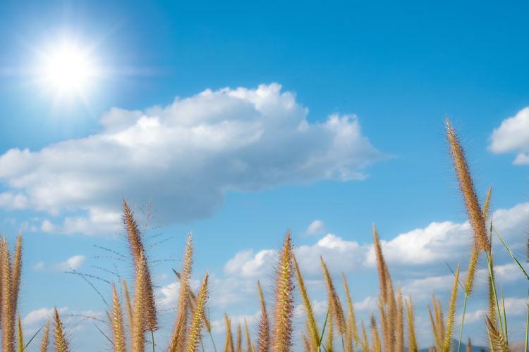 Desho Grass