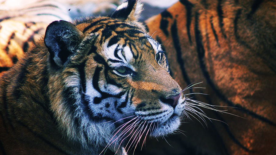 Close-up of tigers on field