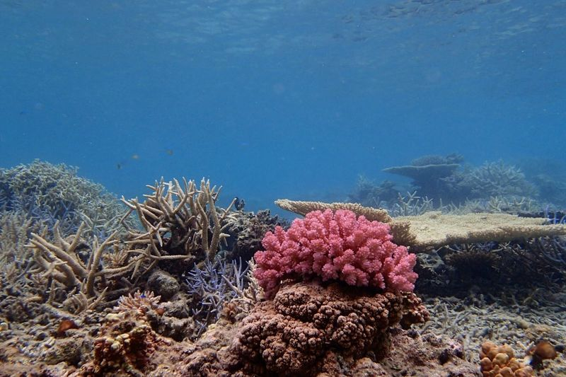 Photooftheday Branch Coral ASIA Tropical Wave Sunlight Snorkeling Coral Reef Diving Multi Colored Water Surface Pink Pink Color Pink Coral No People Clear Water Traveling In Japan Okinawa UnderSea Sea Life Water Sea Underwater Coral Blue Colony Soft Coral Reef Scuba Diving