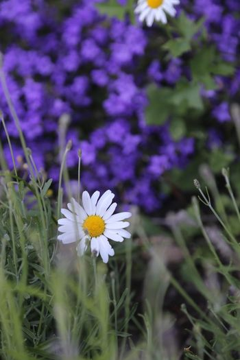 Beauty In Nature Blooming Close-up Crocus Daisy Daisy Flower Day Flower Flower Head Fragility Freshness Growth Nature No People Outdoors Petal Plant Purple Purple Background White Flower