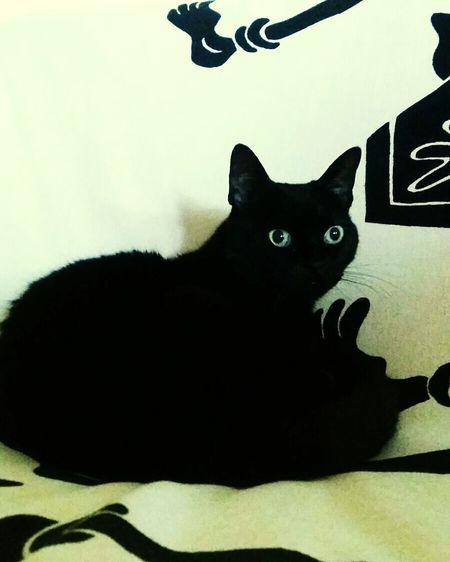 Indoors  Domestic Animals Love Gilda Gattonero Black Cat Photography Blackcat Colection Black Cat Love No People Animal Themes Pet Portraits