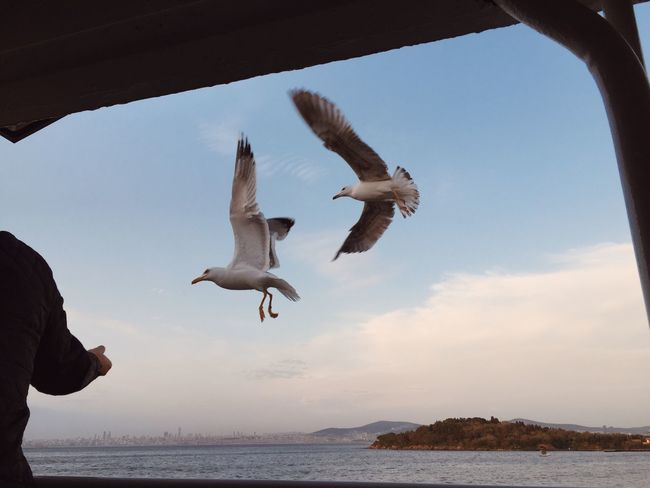 Flying Animal Wildlife Bird Water Animal Themes Animals In The Wild Animal Sky Seagull Spread Wings Sea Group Of Animals Vertebrate Mid-air Horizon Over Water Outdoors Day Beauty In Nature Nature