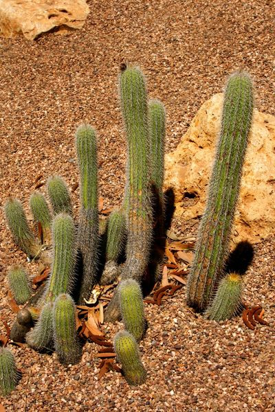 A Cactus from Argentina, Cactaceae, Helianthocereus hauscha Cactaceae, Helianthocereus Hauscha Arid Arid Climate Cactus Day Desert Dry Climate Field Green Color Growth Nature No People Outdoors Plant Rock - Object Spiked Sunlight Thorn