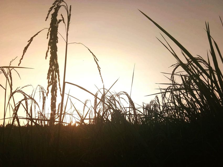 Sunset Nature Silhouette Plant Growth Outdoors Dusk Sunlight Landscape No People Summer Uncultivated Timothy Grass Beauty In Nature Tranquility Scenics Grass Close-up Rural Scene Sky