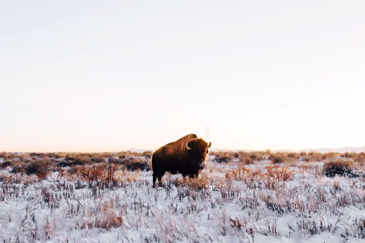 Bison On Field Against Clear Sky During Winter