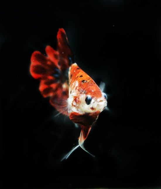 Thailand betta Betta Fish Bettas Mobilephotography Smartphonephotography HUAWEI Photo Award: After Dark Thailand Black Background Swimming Underwater Animal Fin Fish Close-up