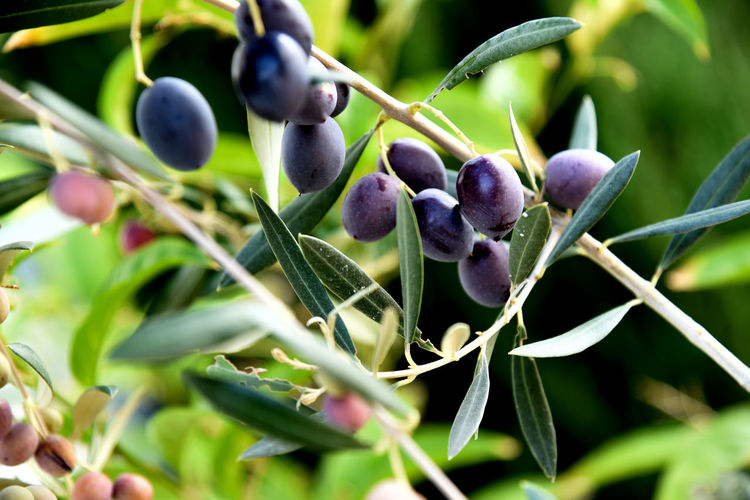 Ripe olives on