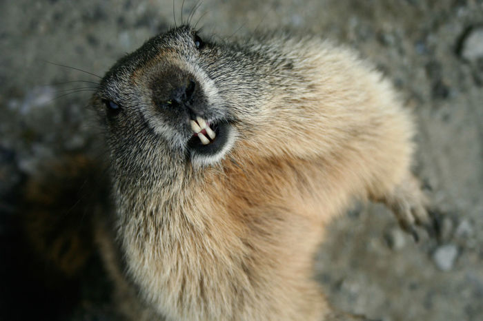 Animal Themes Animals In The Wild Curious Fur Grand Parade Groundhog Italy Mammal Marmot Mountain Natural Park Protected Save The Nature Wildlife Zoology