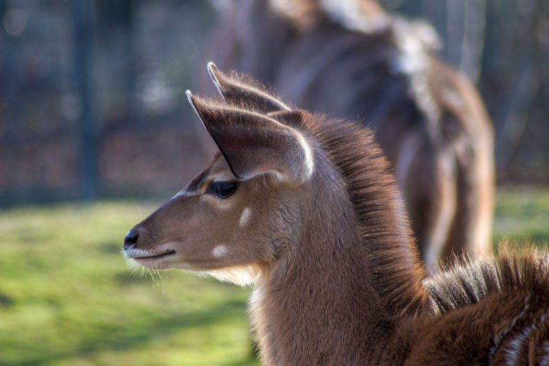 Bambi deer Animal Themes Animal Animal Wildlife One Animal Mammal Focus On Foreground Animals In The Wild Close-up Domestic Animals Side View Day Animal Body Part No People Nature Animal Head  Looking Livestock Land Outdoors Profile View Herbivorous Deer
