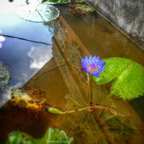 Lotus Flower Lotus Flower Water Flowers