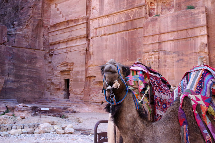 View of a camel