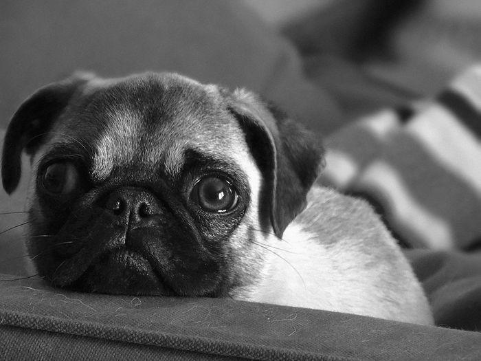 Close-up of pug dog peeking