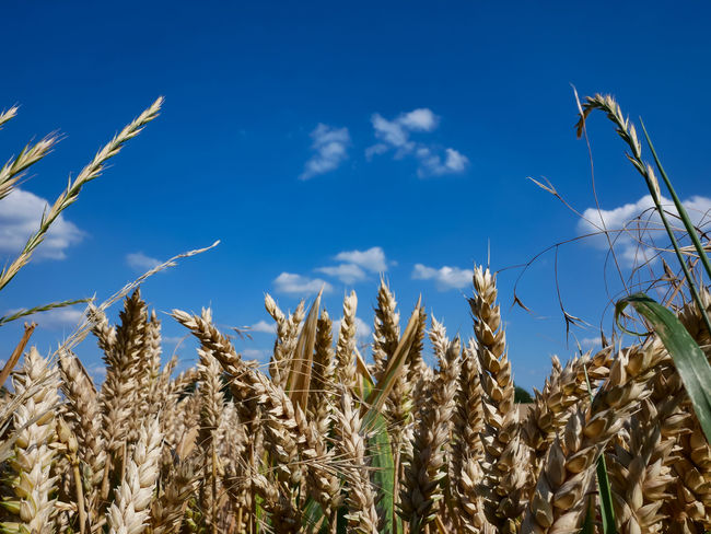 Ripe wheat field just before the harvest Agriculture Beauty In Nature Blue Cereal Plant Cloud - Sky Crop  Day Farm Field Growth Land Landscape Low Angle View Nature No People Oat - Crop Plant Rural Scene Sky Stalk Tranquility Wheat