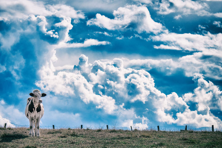 One single cow watching curiously before a big dramatic sky
