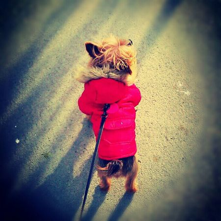 """""""Winter Ready"""" Angel had to break out the winter coat, lol I love my dog more than most people so it's no surprise that I took my perro out for a 45 min walk in this 18° weather Cold Days Brooklyn Yorkie Wintercoat"""