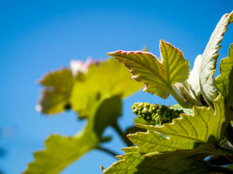 Grapes growing Blue Clear Sky Close-up Freshness Grape Growth Leaf Nature Plant