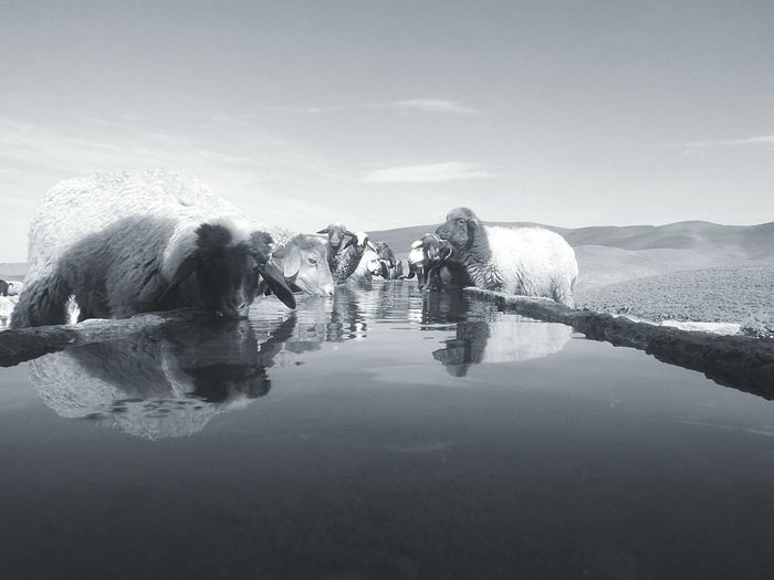3196 M Animal Themes Beauty In Nature Black & White Bouiblane Montain . Morocco Clear Sky Mountain Roadtrip Sheep Water