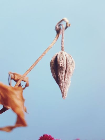 In suspended animation... Plant Dried Plant Seed Pod Protective Shell Dead Plant Beauty In Nature Appreciate The Little Things In Life EyeEm Selects Hanging Skill  Close-up Sky Hook
