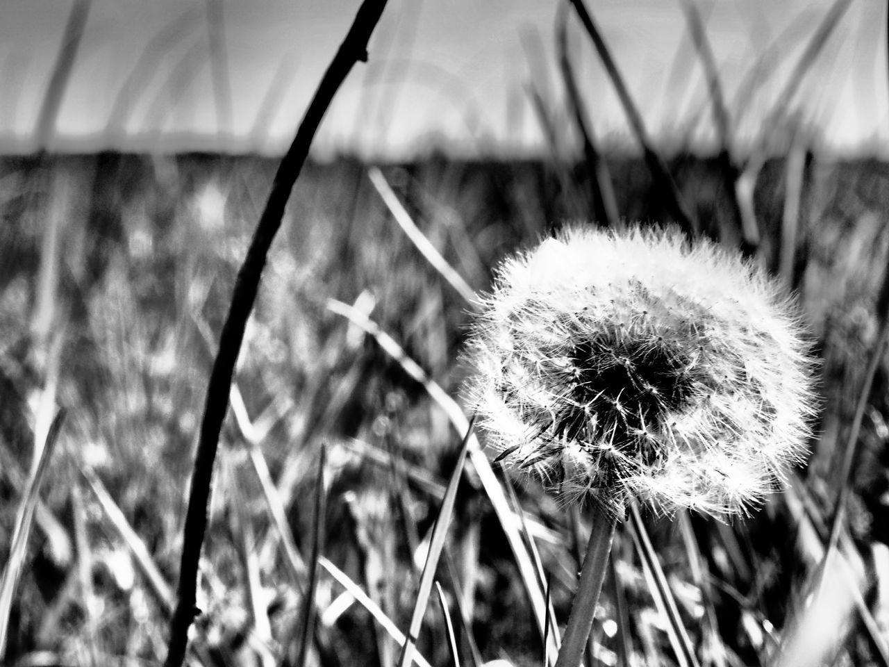 flower, nature, dandelion, focus on foreground, growth, plant, close-up, fragility, outdoors, day, flower head, no people, freshness, beauty in nature