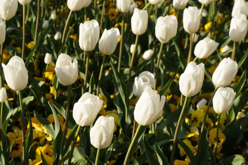 Flower Plant Nature Petal Flower Head Close-up Growth White Color Beauty In Nature Blossom Flowerbed No People Springtime Freshness Fragility Czech Praha Outdoors
