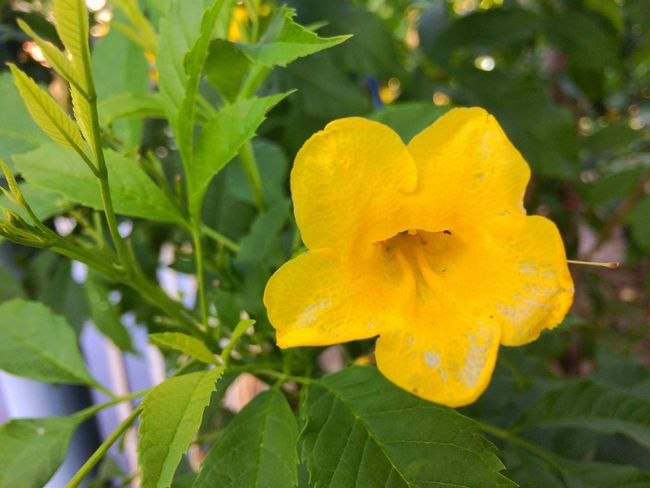 yellow flower in garden Nature Leaves Leaf Green Yellow Park Garden Blossom Bloom Flora Flower Petal Nature Yellow Leaf Growth Beauty In Nature Plant Outdoors Close-up Flower Head Day