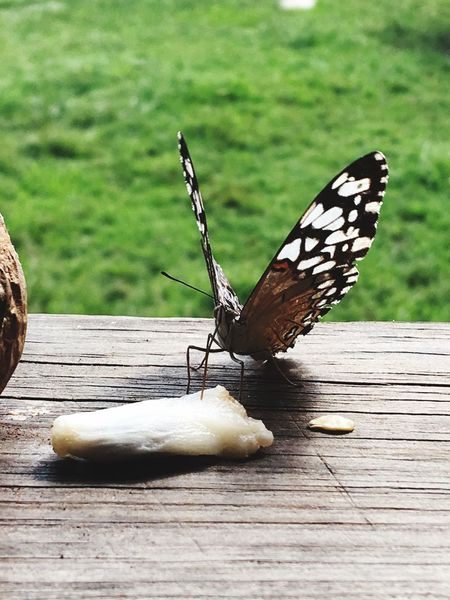 Moth eating a soursop seed Moth Insect Animal Wing Butterfly - Insect Invertebrate Animal Wildlife Animals In The Wild Animal Themes Beauty In Nature Wood - Material Focus On Foreground Animal Animal Markings Day Green Color Sunlight Nature No People One Animal Close-up Outdoors