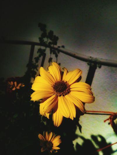 Para mas fotos seguirme en instagram: @photos.albaa o @albarc._ o @photografic.pix Flower Head Flower Black-eyed Susan Petal Pollen Zinnia  Close-up Blooming Plant Sunflower Botany Pistil Plant Life Single Flower
