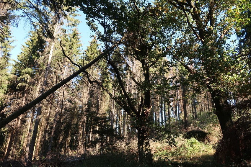 Tree Branch Forest Backgrounds Full Frame Sky Tree Area WoodLand Woods Pine Woodland Growing