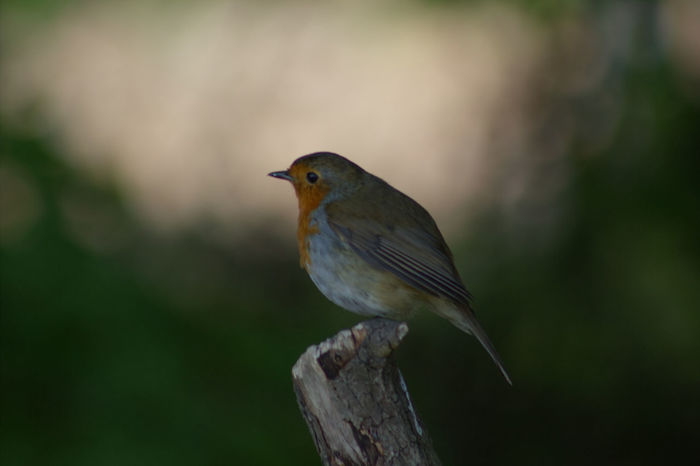 Bird Animal Wildlife One Animal Animals In The Wild Perching Songbird  No People Nature Outdoors Tree Close-up Day Animal Themes Robin Robin Redbreast Focus On Foreground