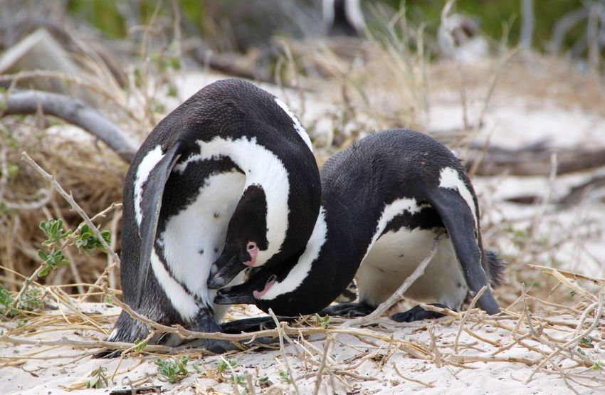 Pinguine Birds Animals EyeEm Animal Lover Eye4photography  OpenEdit First Eyeem Photo Penguins Penguin Pinguin Pinguine
