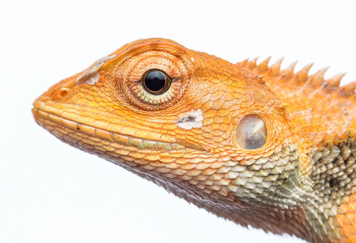 calotes versicolor lizard with white background Calotes Versicolor Garden Lizard Life Lizard Reptile Wildlife Photography Color Headshot