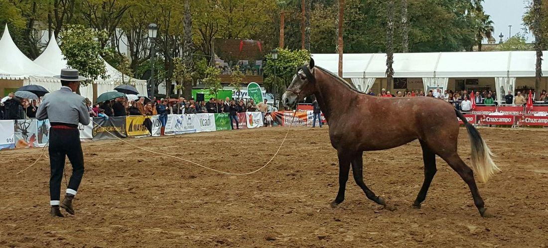 Caballo Pura Raza Español Man And Horse Herbivorous Horse Outdoors Outdoor Photography Animal Themes Doma Clásica Day