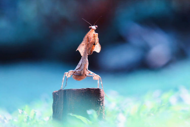 Close-up of prayin mantis on log