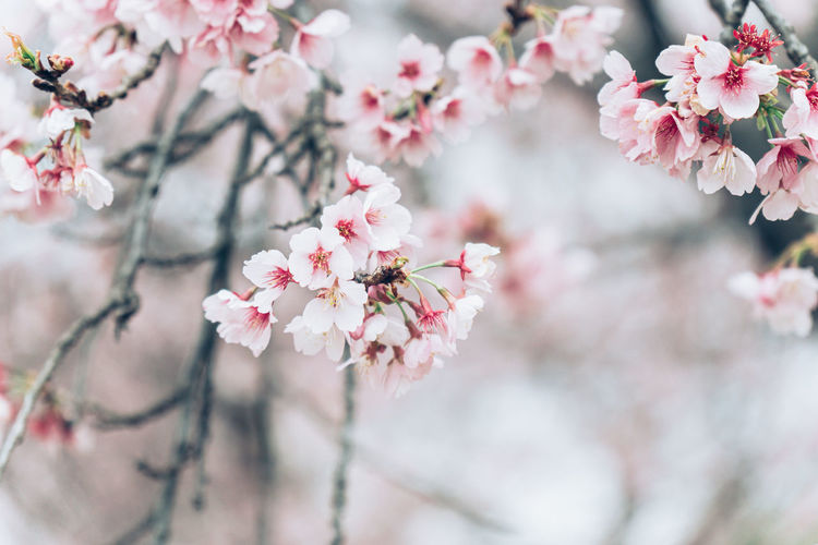 Beautiful cherry blossom flower sakura in japan during springtime