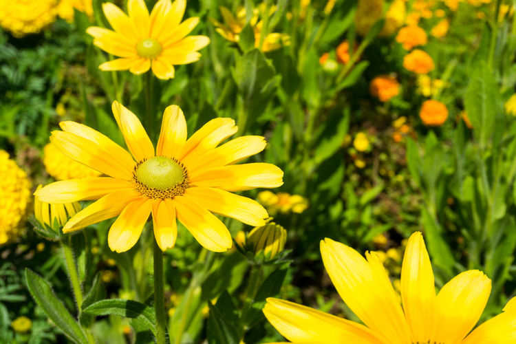 Close-up of yellow Flowers in Summer. Golden Daisy Bush Asteraceae Beauty Blooming Close-up Closeup Easy To Grow Euryops Chrysanthemoides Flower Head Flowering Flowers Freshness Garden Golden Daisy Bush Green Growing Growth Meadow Nature Plants Season  Summer Yellow